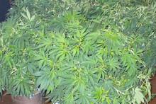 Тошкент вилоятида нафақахўр эркакнинг молхонасидан 5 кг марихуана топилди