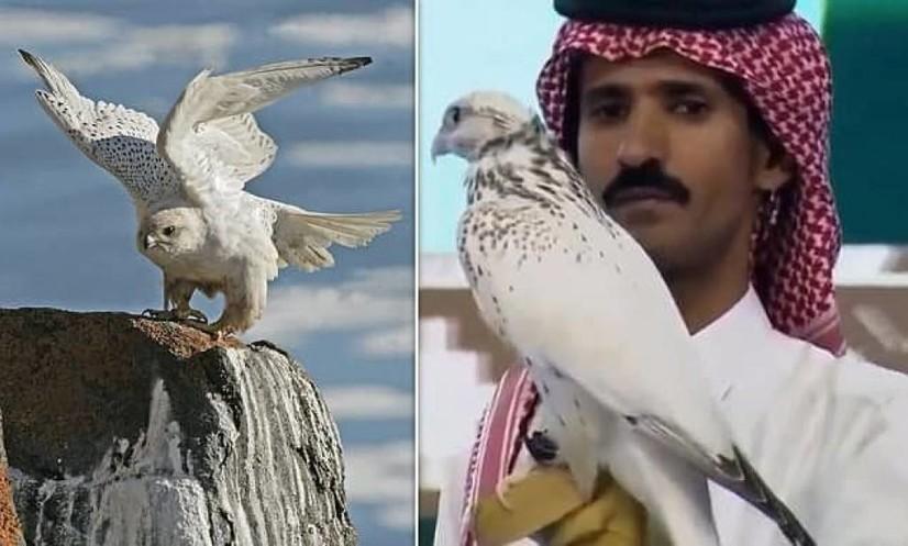 Саудия Арабистонида лочин 472 минг 500 долларга сотилди, янги рекорд ўрнатилди